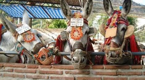 Fashionable donkeys in Mijas!