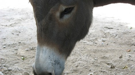 Adopt a Donkey in Spain